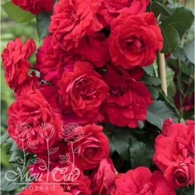 Негреско роза