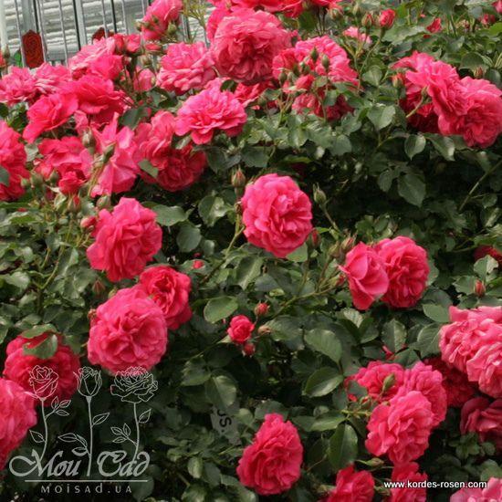 rosarium uetersen роза на штамбе