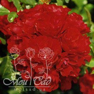 a7296a37d Роза Centro-Rose - Rosen Tantau (Германия) - купить online   Магазин ...
