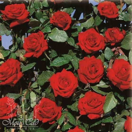 Velvet star роза штамп лягушка