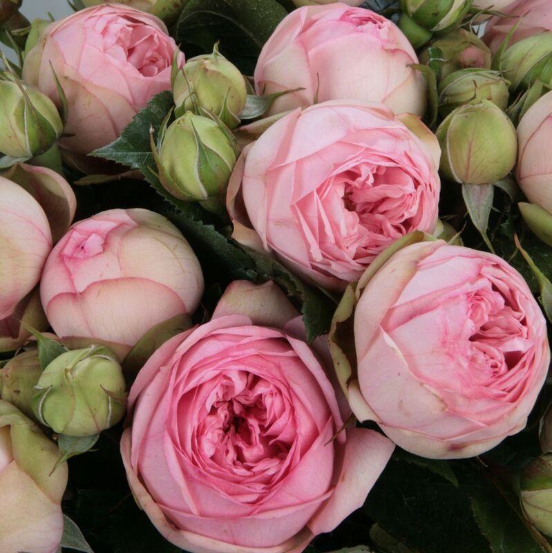 Недорогой, цветы розы купить саженец украина