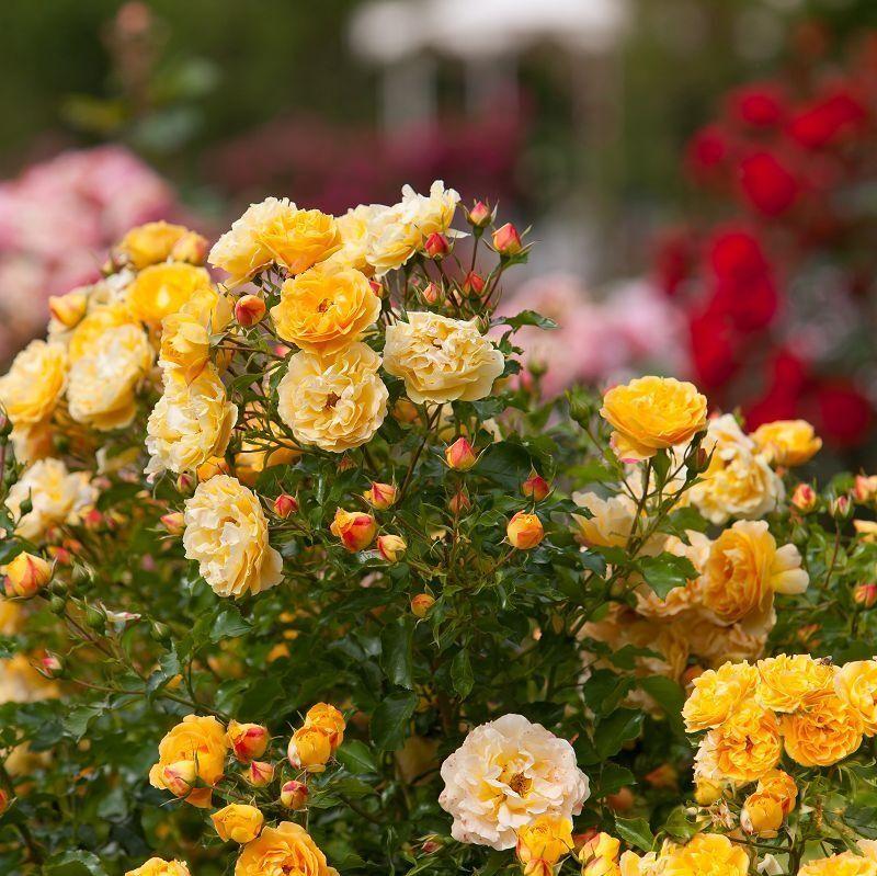 lizzy starlet rose rosen tantau. Black Bedroom Furniture Sets. Home Design Ideas