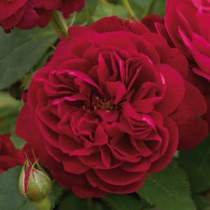 Роза Darcey Bussell 4