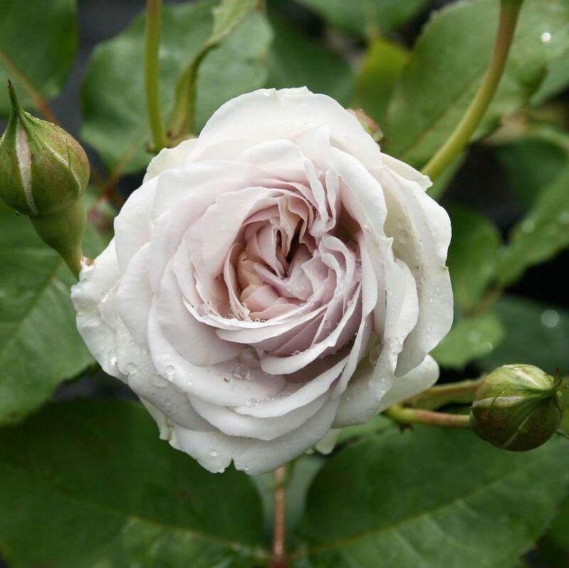 griselis petales de roses online. Black Bedroom Furniture Sets. Home Design Ideas