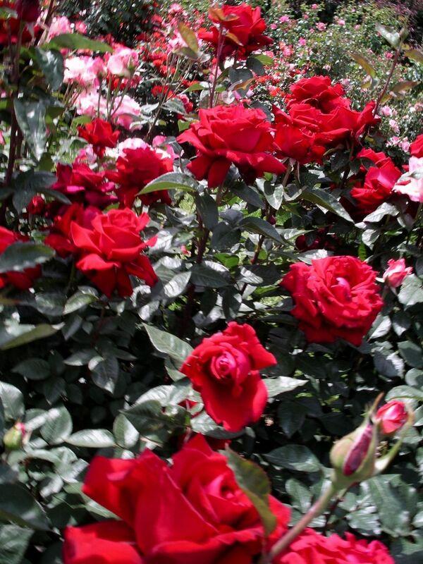 Роза valentino barni И�алия к�пи�� online Магазин